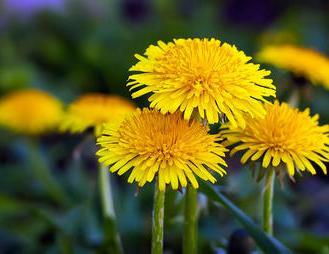 weedstoeat-dandelion-1000